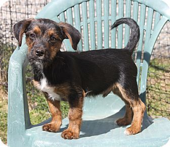 Larchmont, NY - Dachshund/Terrier (Unknown Type, Small) Mix. Meet Gumbeaux, a puppy for adoption. http://www.adoptapet.com/pet/15096733-larchmont-new-york-dachshund-mix
