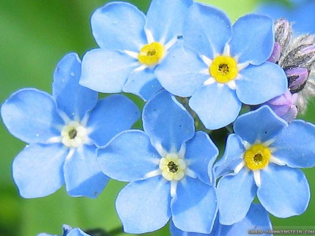 Undefined blue flowers images wallpapers 36 wallpapers undefined blue flowers images wallpapers 36 wallpapers adorable wallpapers dhlflorist Choice Image
