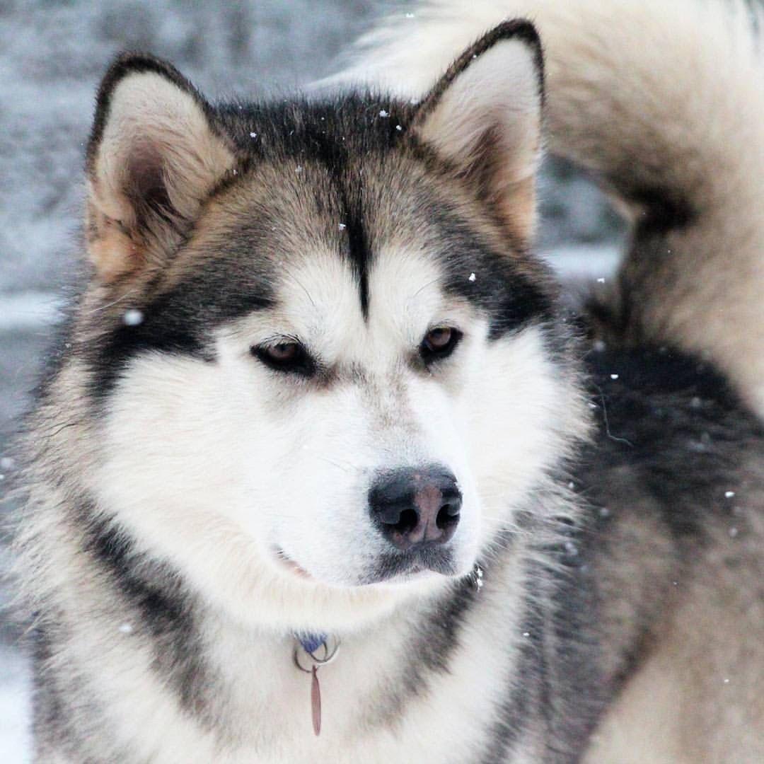 Alaskan Malamute Malamute Puppies Alaskan Malamute Snow Dogs