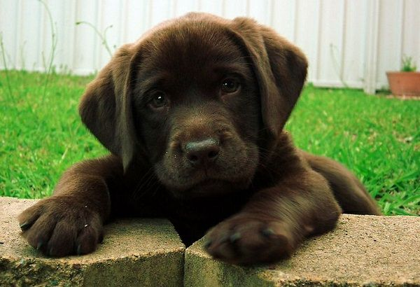 They Won T Ever Love You Now Who D Love A Dog Like This Lab Puppies Cute Puppies Labrador Retriever