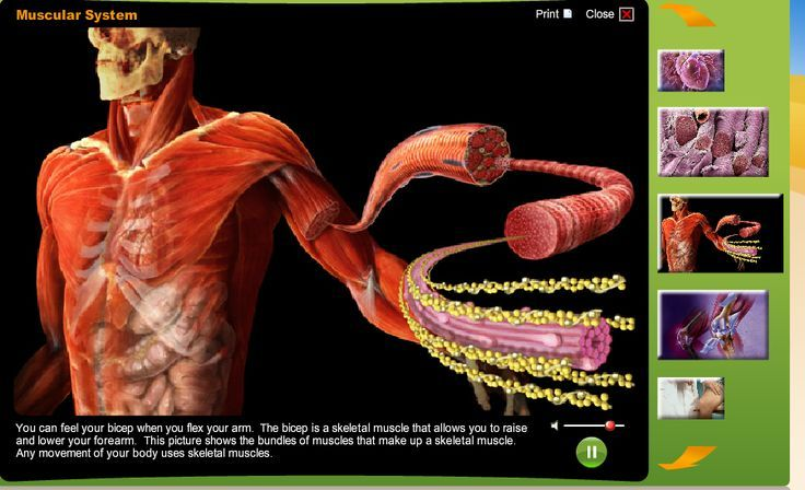 Scholastic Study Jams  Muscular System Great Visuals For The Muscular System And All Sor