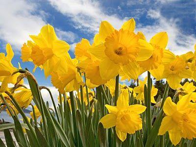 A Blog For English Lovers Daffodils Daffodil Flower Bulb Flowers