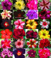 """Adenium Obesum /""""identified by color/"""" 500 Seeds 24 Types"""
