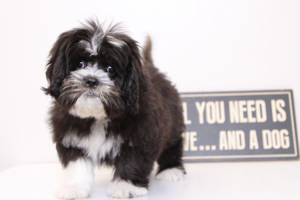 Heidi adorable female shihtzu puppy shih tzu puppy