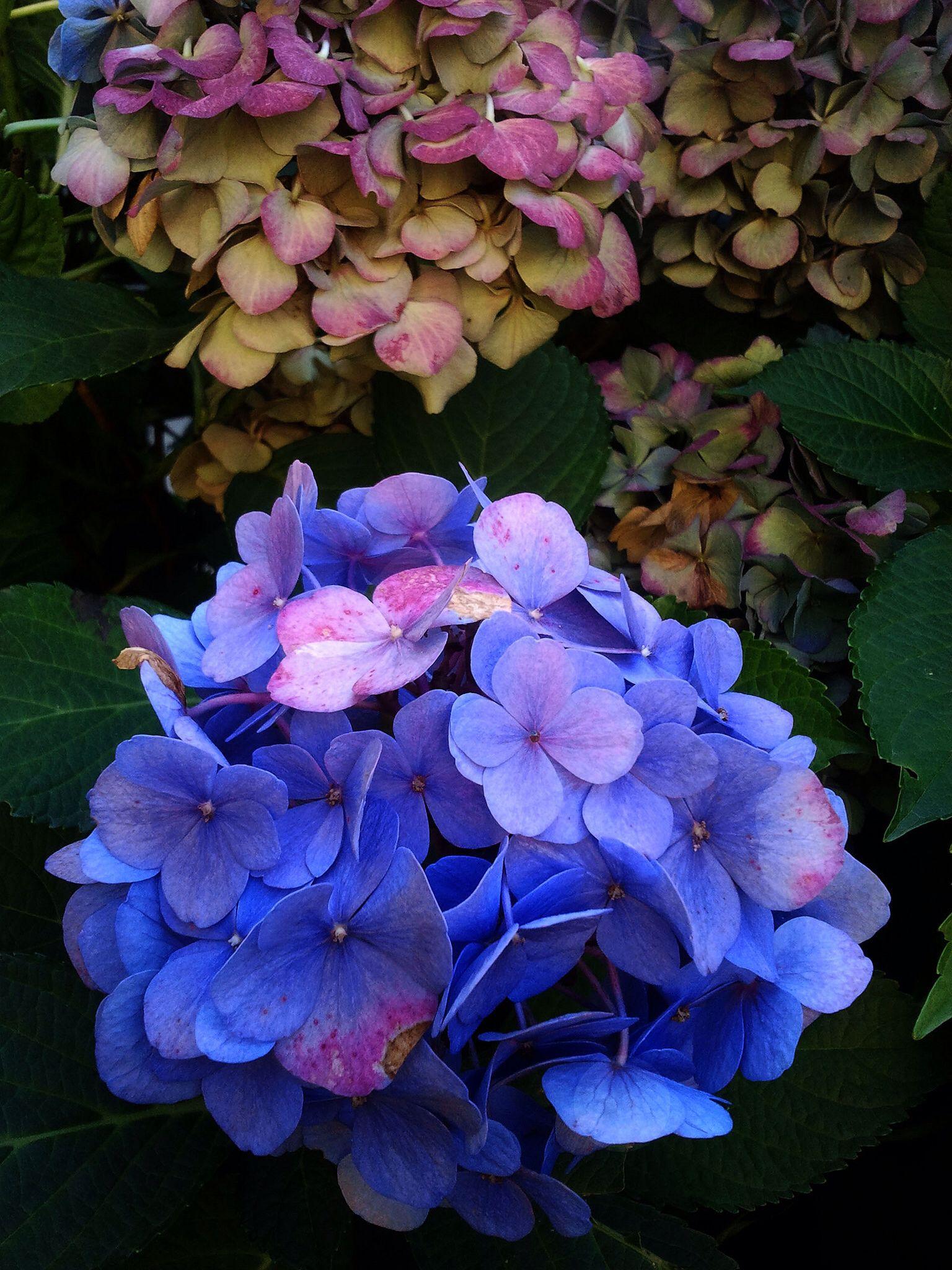 Blaue Hortensie Im Herbst Blue Hydrangea In Autumn Blaue