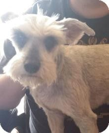 Oklahoma City Ok Miniature Schnauzer Meet Grace A Dog For