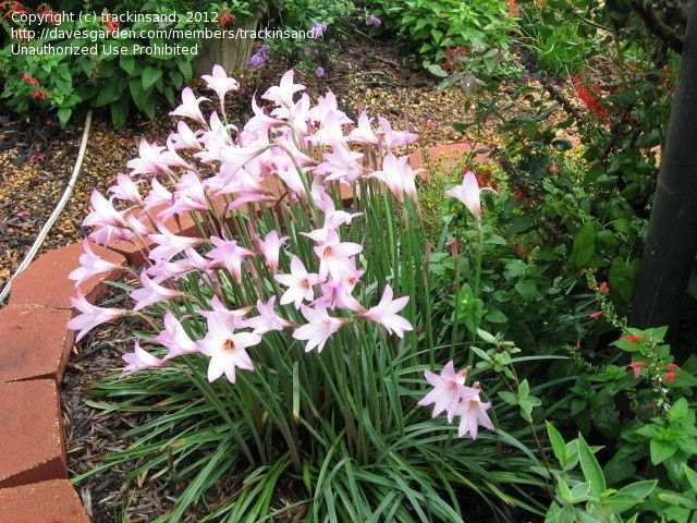 Full size picture of argentine rain lily rainlily for Pflanzengestaltung garten