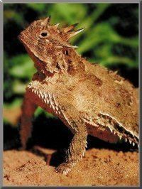 Horned frog aka horned toads- it looks like a thorny devil :)