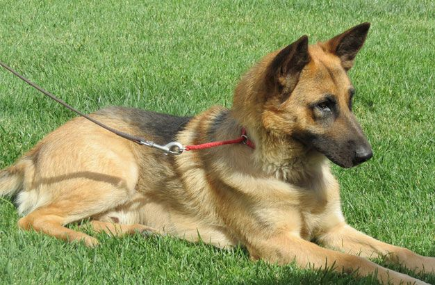 Pin On German Shepherd Rescue Of Orange County Gsroc