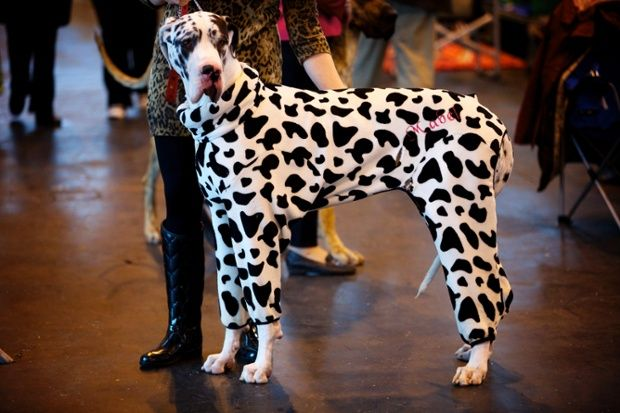 Crufts Dog Show 2014 In Pictures Great Dane Costume Really
