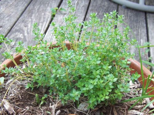 Thyme Is Easy To Grow And Easy To Use Growing Thyme 400 x 300