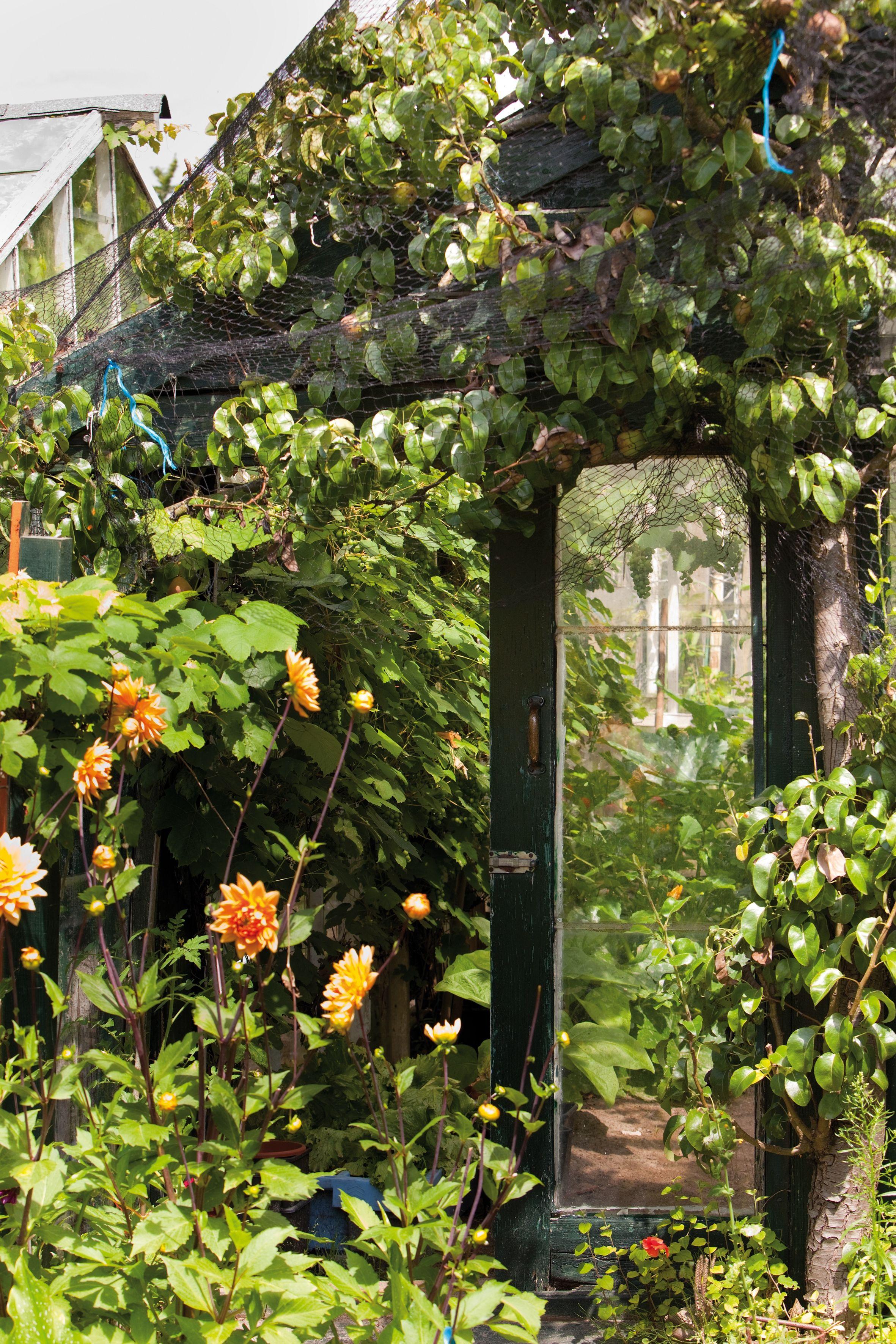 Green Room Garden Design: Dahlia #green House #glass House