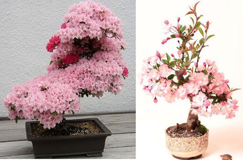 10pcs Rare Sakura Seeds Cherry Blossoms Seeds Garden Flower Bonsai Tree Garden Plant Pots Rose Seeds Flowering Bonsai Tree