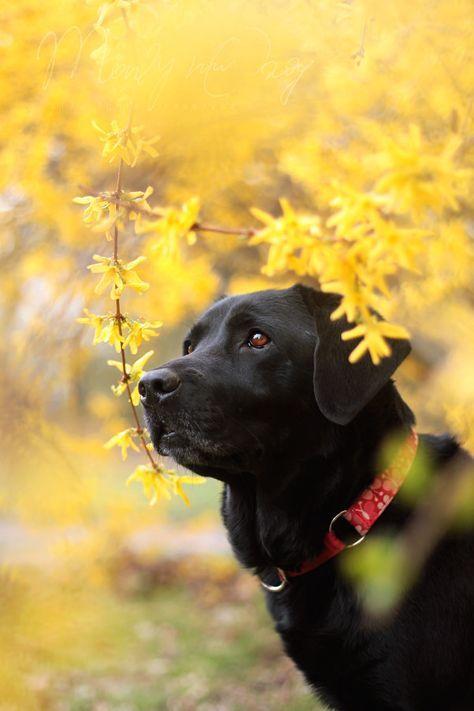 Negra Schwarzer Labrador Welpen Retriever Hund Schwarzer Labrador Retriever