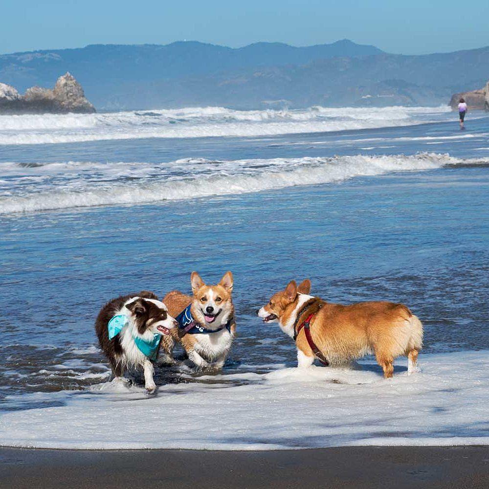 Dream Town Capitola California Corgi San Francisco Beach Dogs