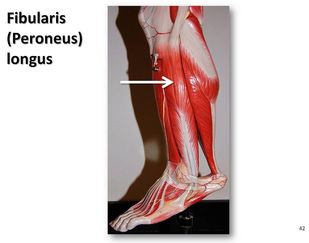 Fibularis longus - Muscles of the Lower Extremity Anatomy Visual ...