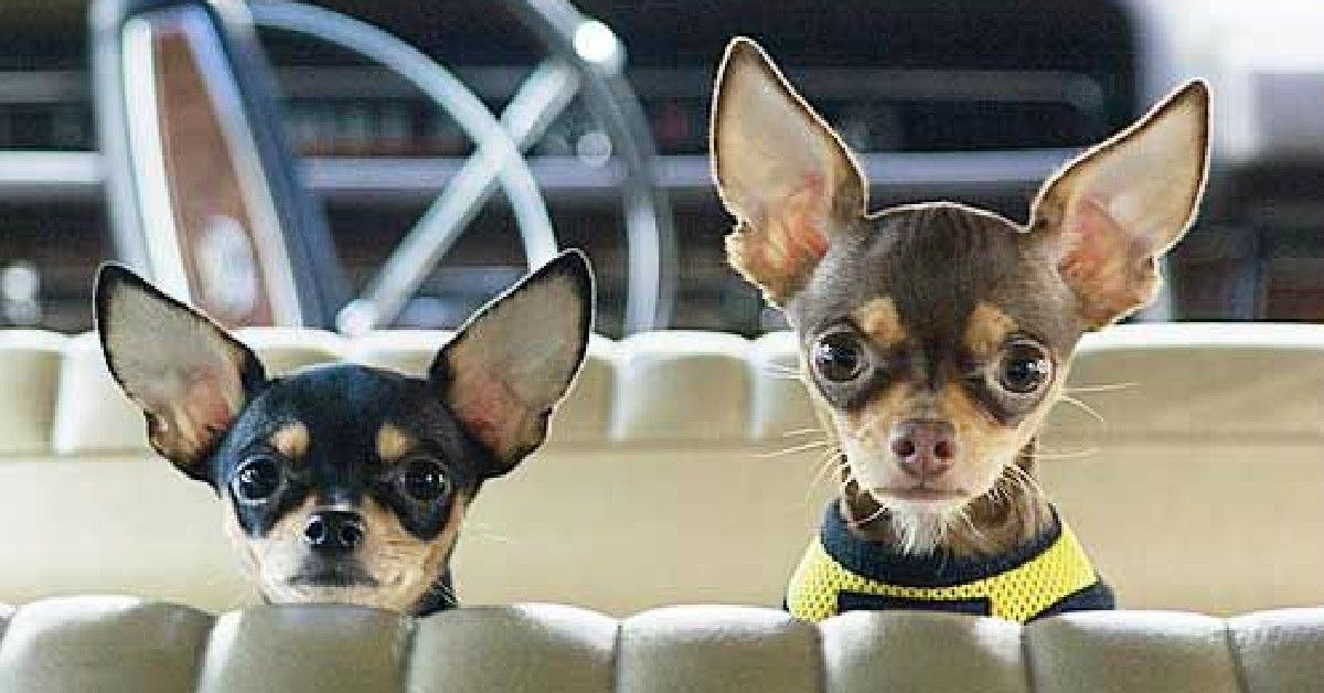 19 Reasons Why Chihuahuas Are The Worst Dogs To Live With Cute