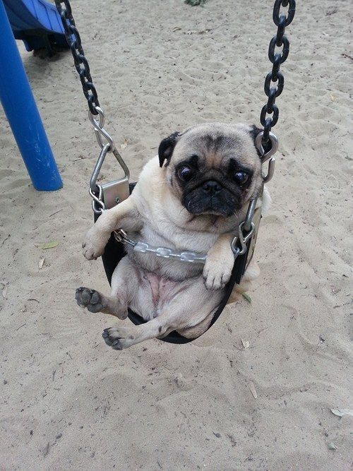 Sad Day On The Swings Pug Puppies Black Pug Puppies Pugs Funny