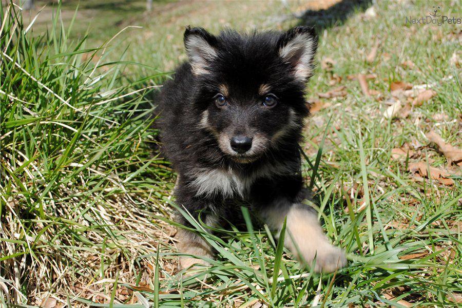 Wolf Hybrid Puppy for Sale * 87 FEMALE TIMBERWOLF HYBRID