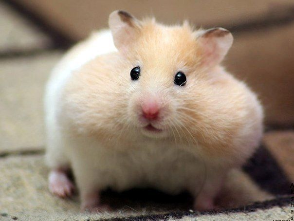 Cute Hamster Cute Hamsters Cute Baby Animals Cute Funny Animals