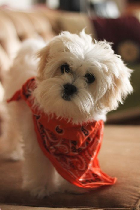 Maltese Puppy Camels Chocolate Maltese Puppy Maltese Dogs