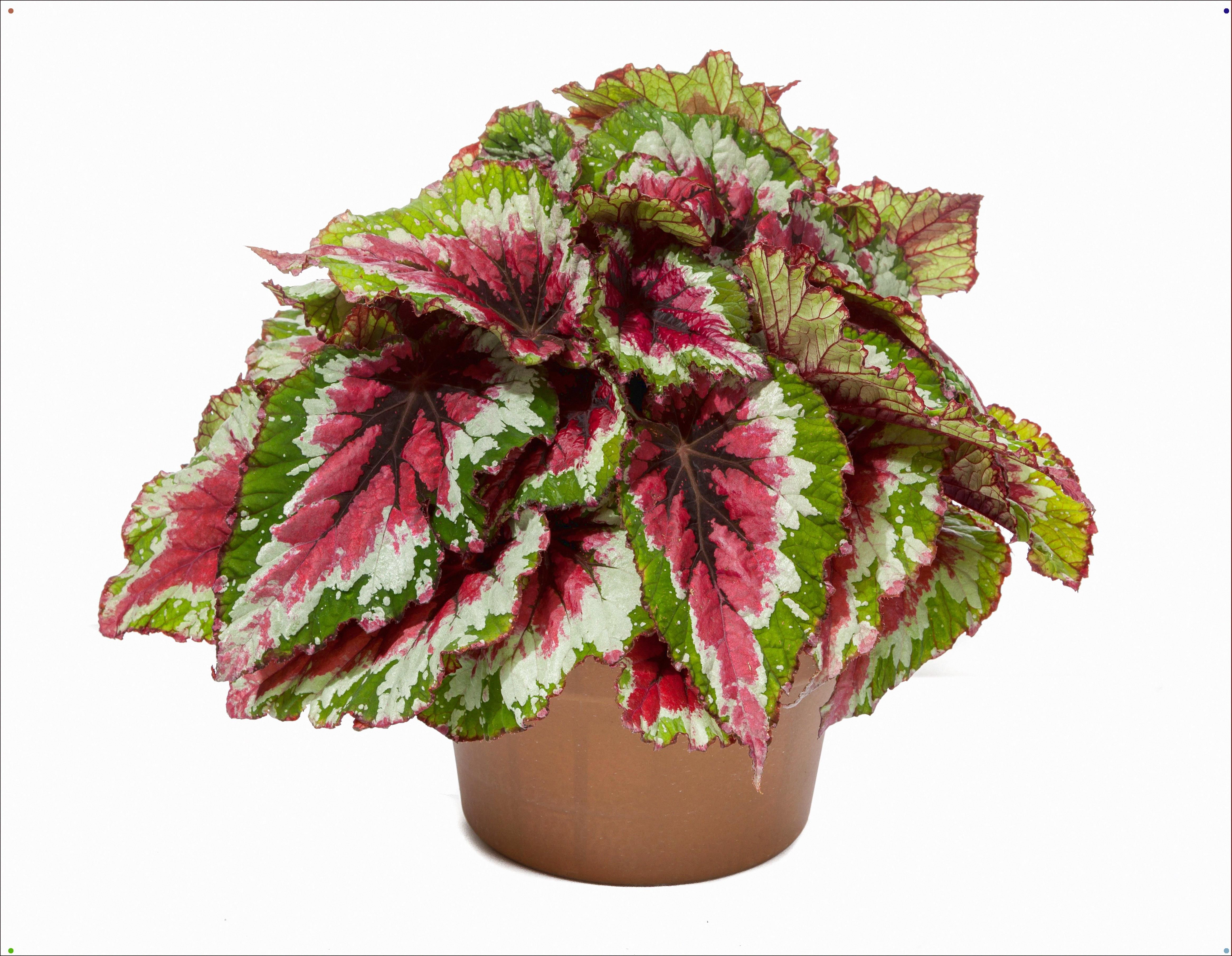 Green Fuse Begonia Rex Shadow King Strawberry Sherbet 013 In