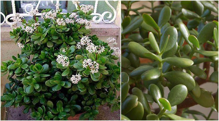 Questa pianta porterà fortuna splendide amicizie e ricchezza