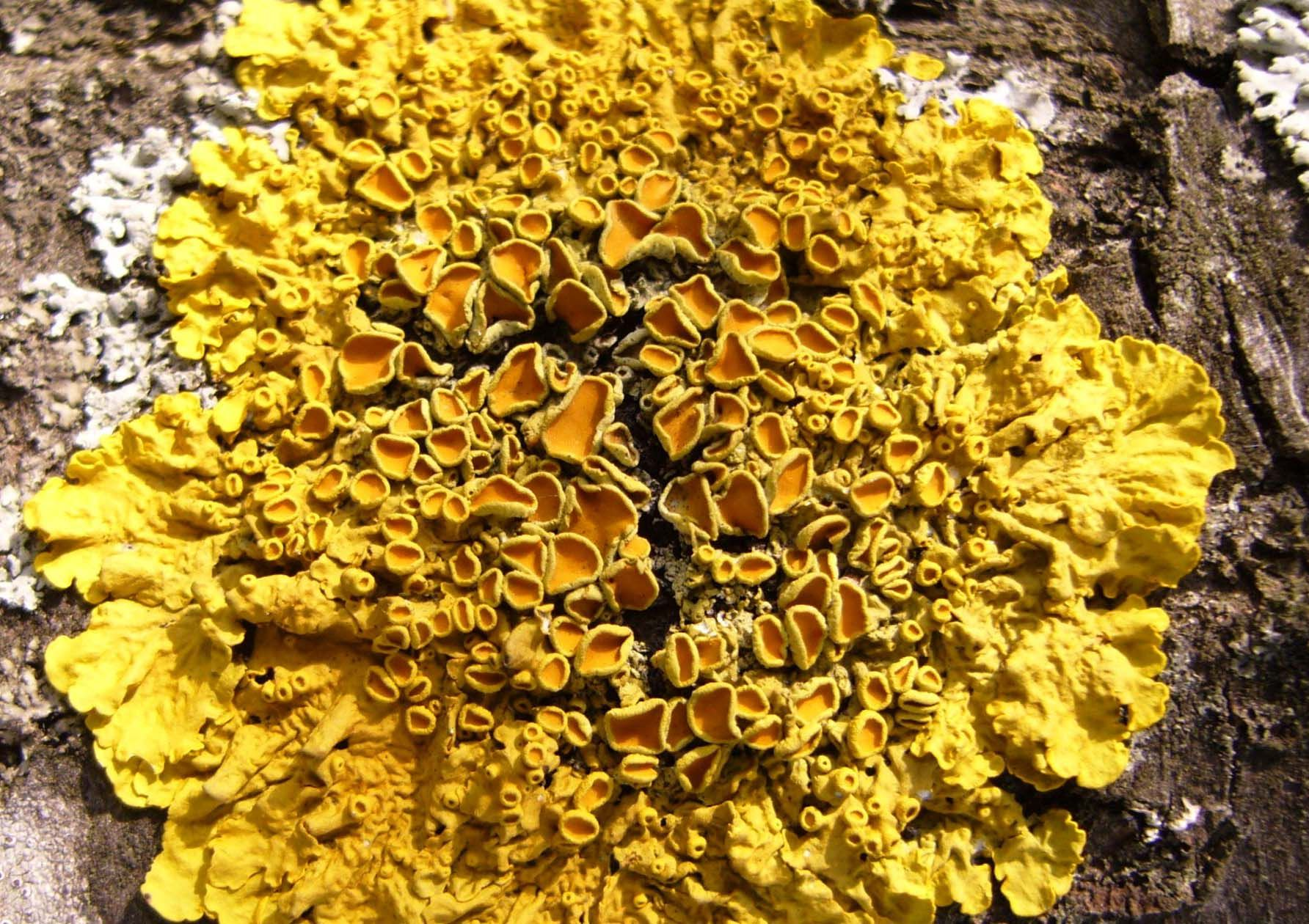 Xantoria Parientina Common Orange Lichen In The Past Used In Dye Making An To Treat Jaundice Plant Pictures Plants Big Plants