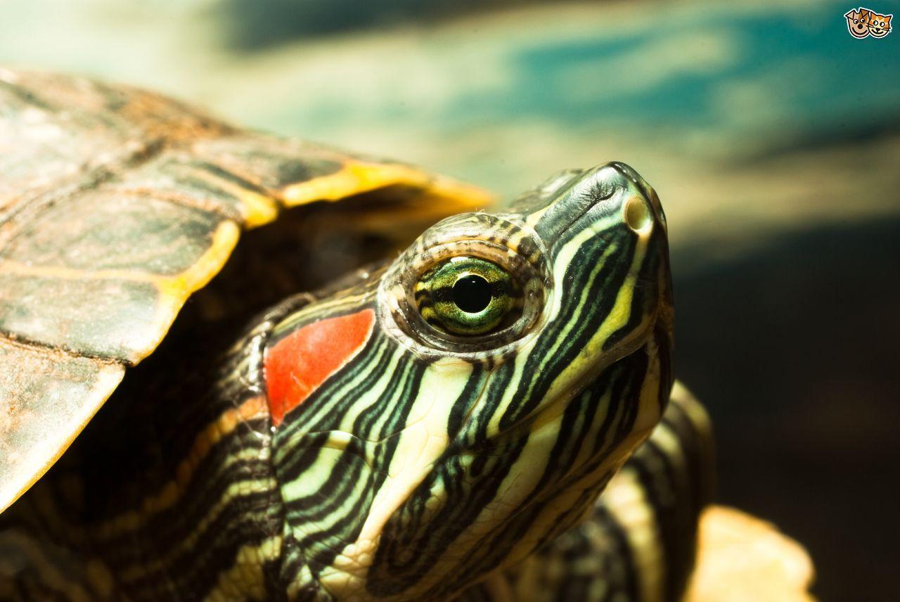 Redeared slider turtle care Turtle care, Slider turtle