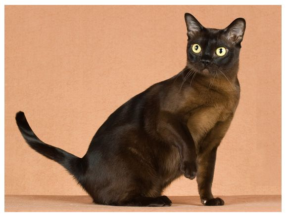 Pin By Kendal Stephens On Carismo Burmese Cat Cat Sleeping Cat Facts