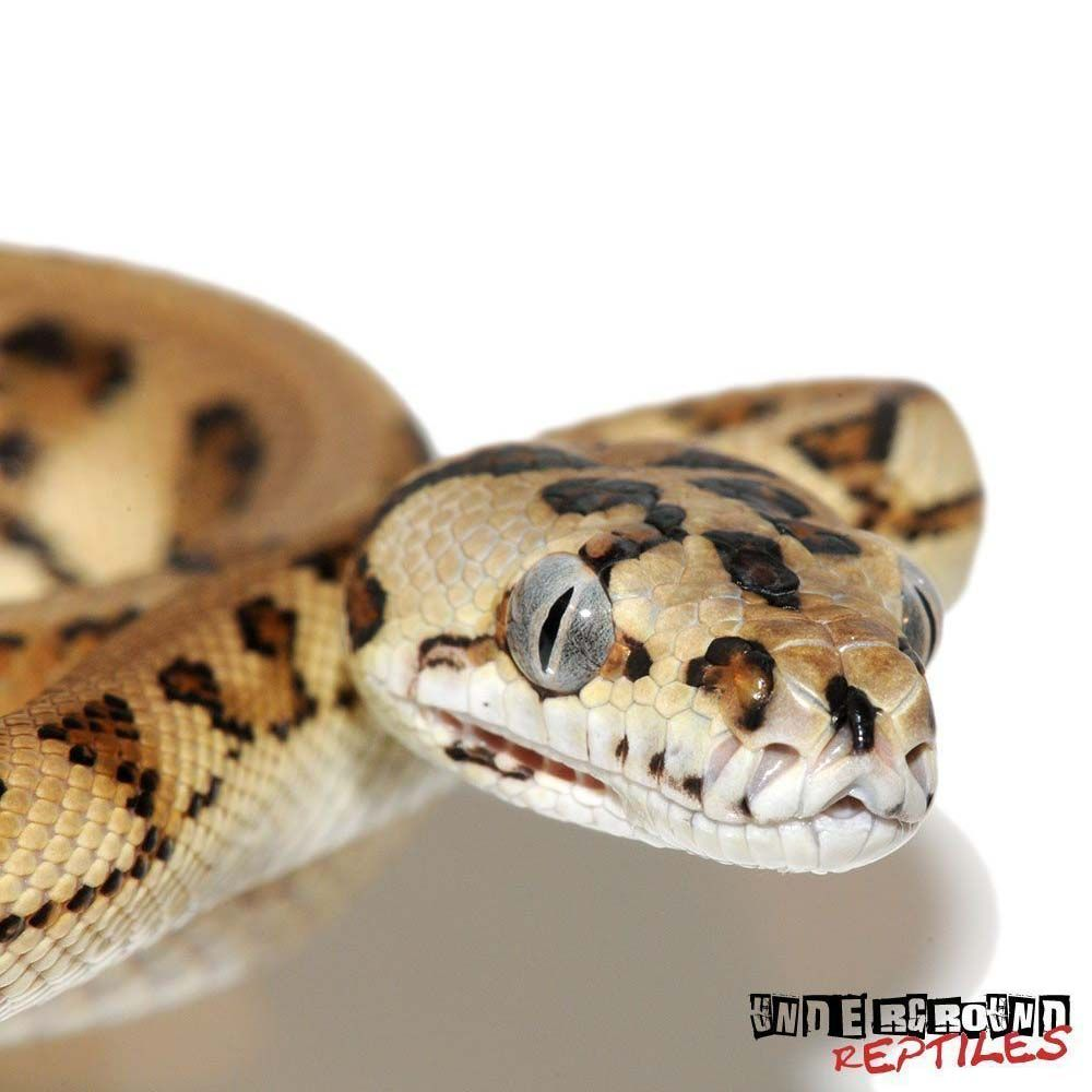 Baby Jaguar Caramel Carpet Python Pythons for sale