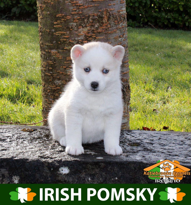 Katiebrooke Kennels Pomsky Specialists Ireland 1500 Uk 2000 Europe 2000 Usa F1 Pomsky Puppy Lucia Blue Eyes X Female X R Pomsky Puppies Pomsky Puppies