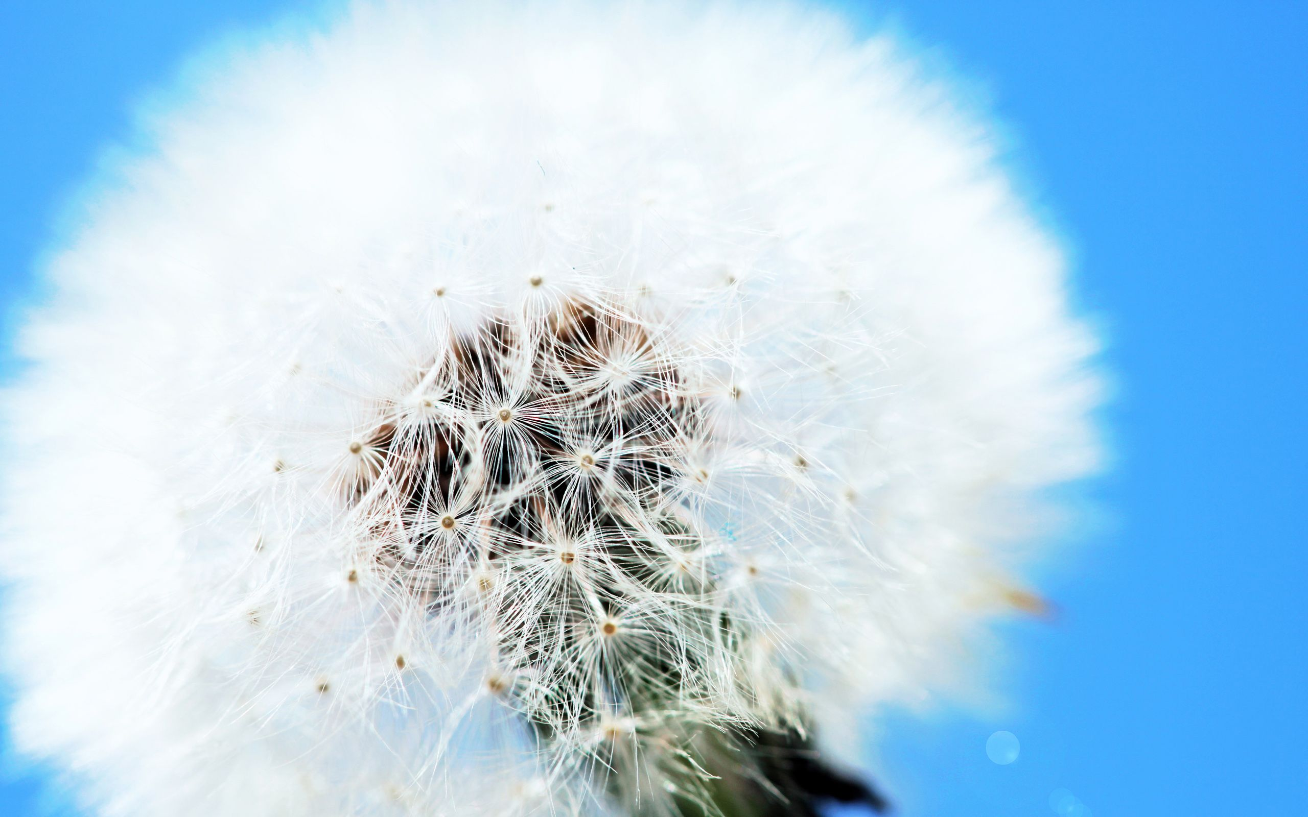 White Dandelion Wide With Images Beautiful Flowers Pictures
