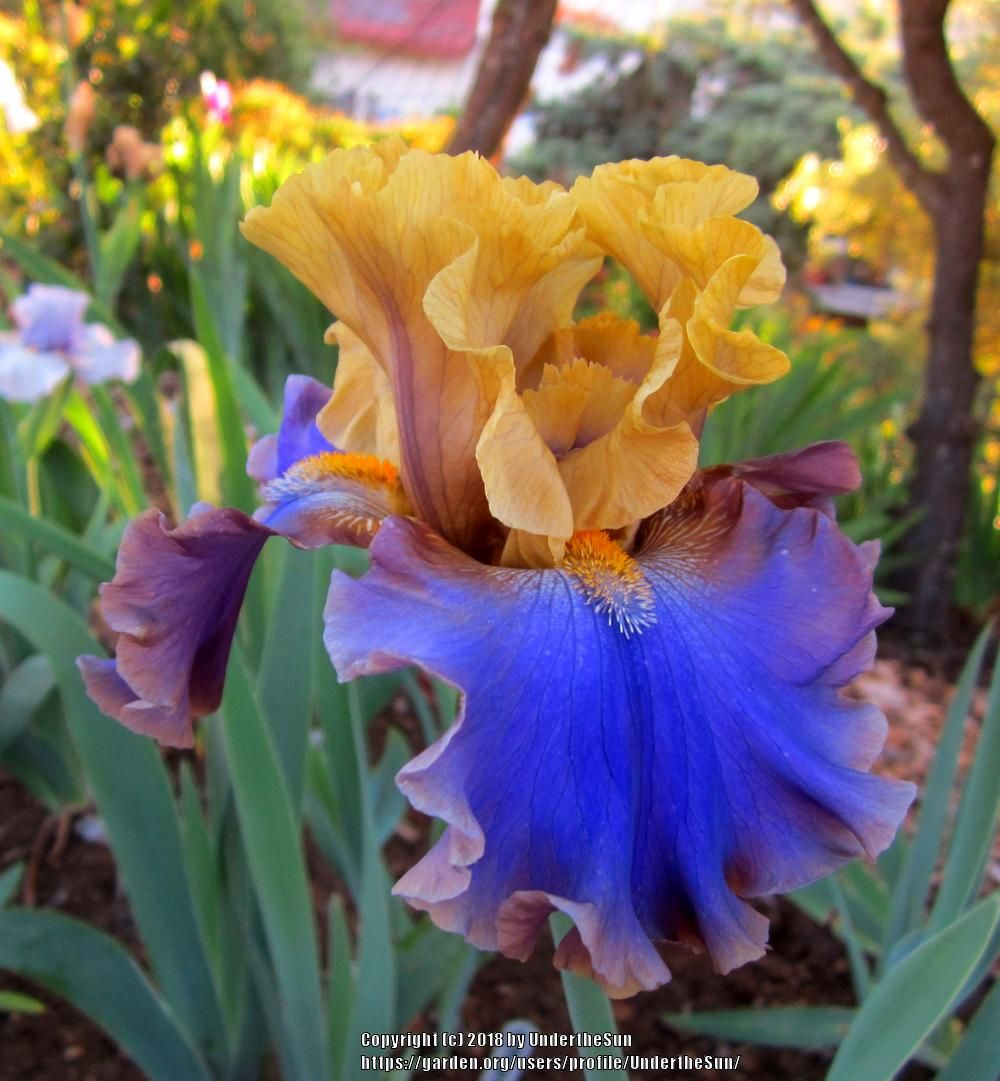 Irises Plant Care And Collection Of Varieties Garden Org Iris Garden Plants Iris