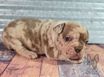 Normal Chocolate Merle French Bulldog DNA testable Merle