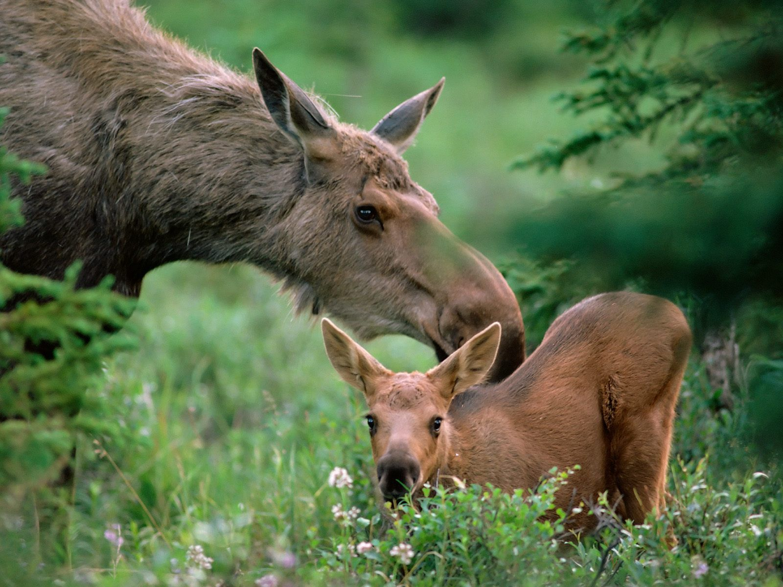 Alaska Pictures Of Nature Mother Moose With Calf Boreal