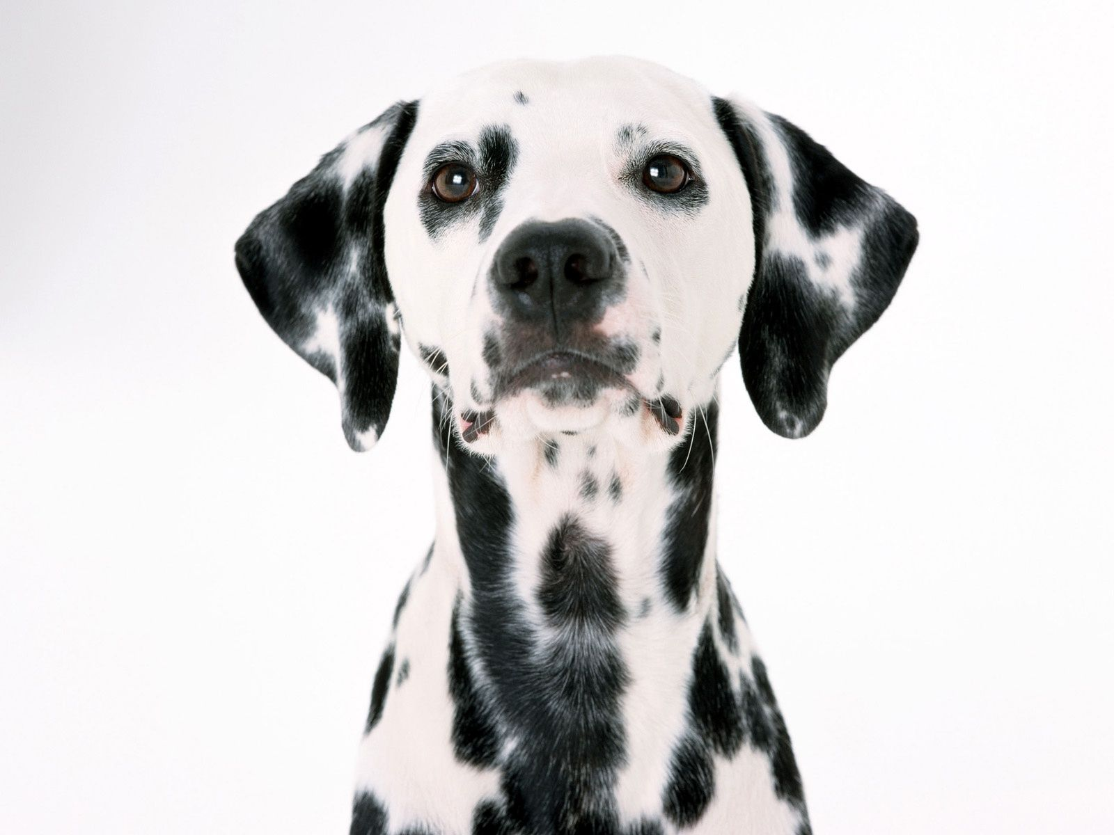 Dalmatian Dog Face Portrait On White Background Normal 1600x1200
