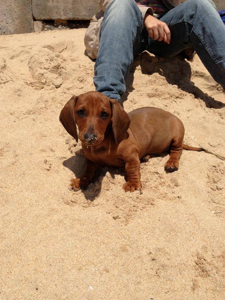 Meet Cookie My 2 Month Old Dachshund Precious Wiener