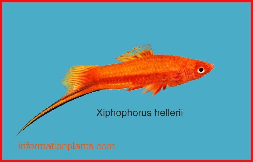 سوردتيل Xiphophorus Hellerii سمك زينة انواع الاسماك انواع الاسماك مع الصور معلوماتية نبات حيوان اسماك فوائد Fish Pet Pets Animals