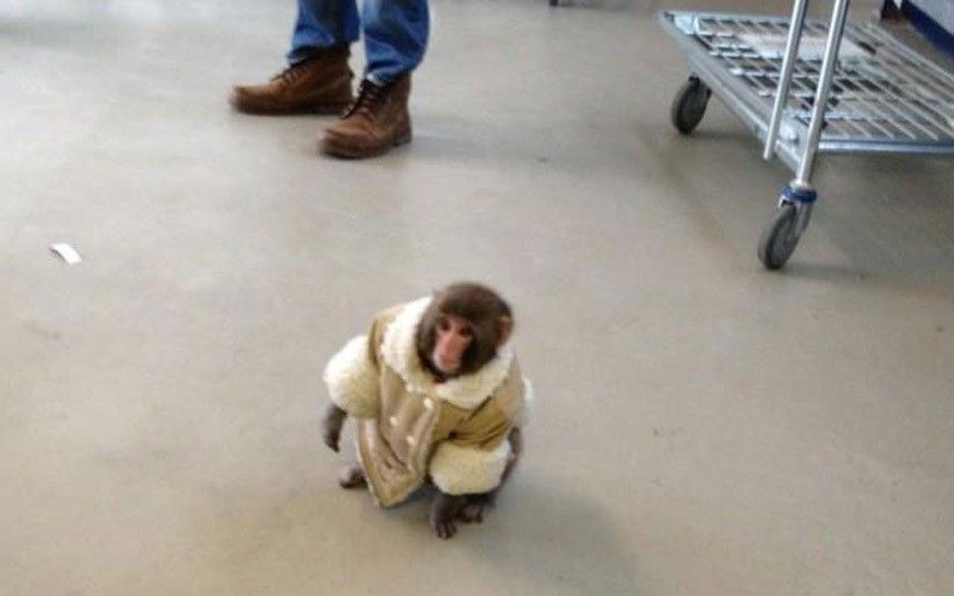 A monkey dressed in a sheepskin coat and diaper shocked shoppers ...