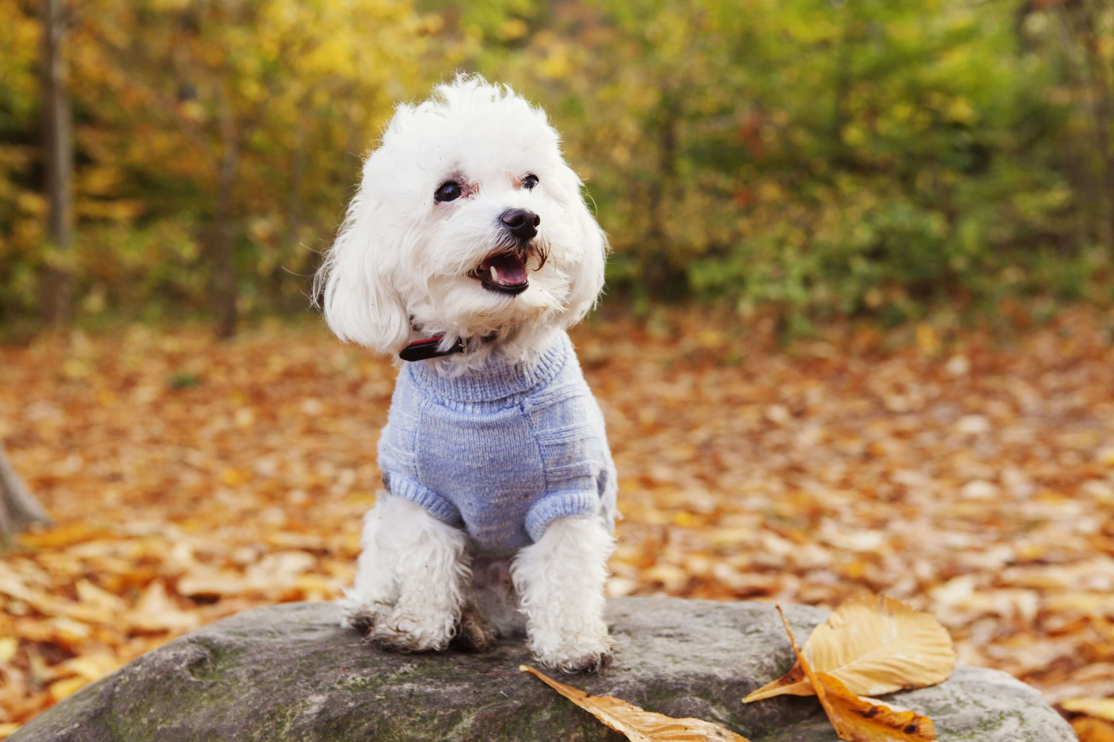 Top 8 Cute Small Dogs That Don T Shed With Images Dog Breeds Cute Small Dogs Cute Dogs Breeds