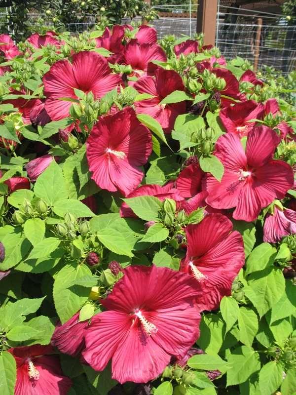 Hibiscus Moscheutos Luna Red Plant Finder Red Plants Plant Texture Hibiscus