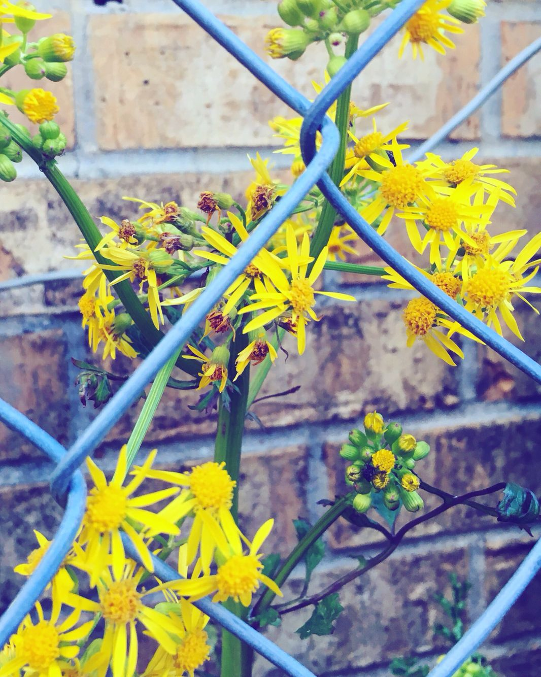 LF #oldbrick #brick #brickhouse #fence #fenceofflowers #yellowflowers #greenstem #greengrass #yellow #green #yellowandgreens #brickandflowers #fenceandflowers #flowersandbrick #greenandyellow #natureisbeautiful