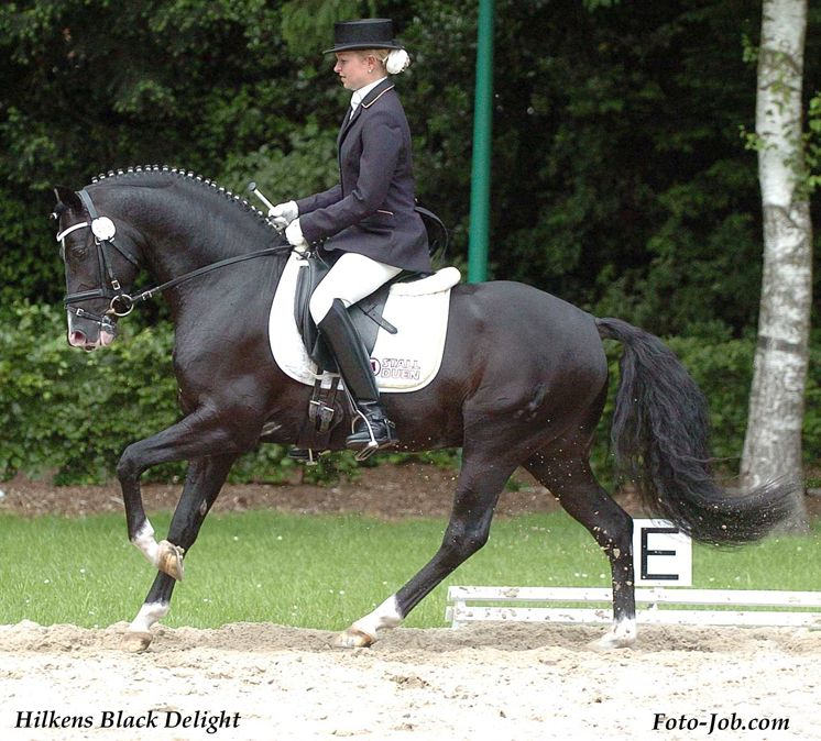 Hilkens Black Delight Standard German Riding Pony Deutsche Reitpony Haras Du Feuillard Pony Breeds Horse Love Equine Inspiration