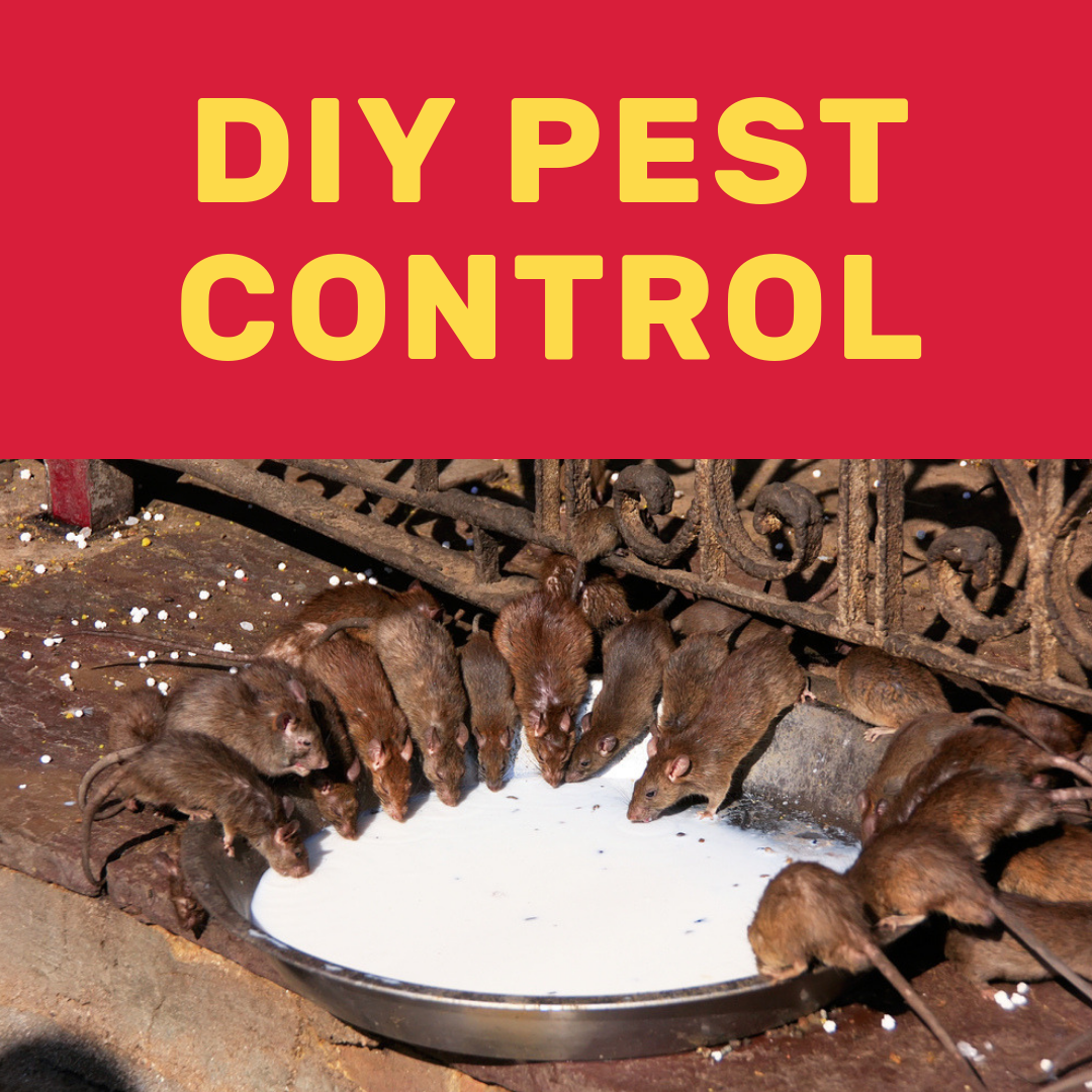 Get Rid of Bugs and Rodents Pest control, Diy pest