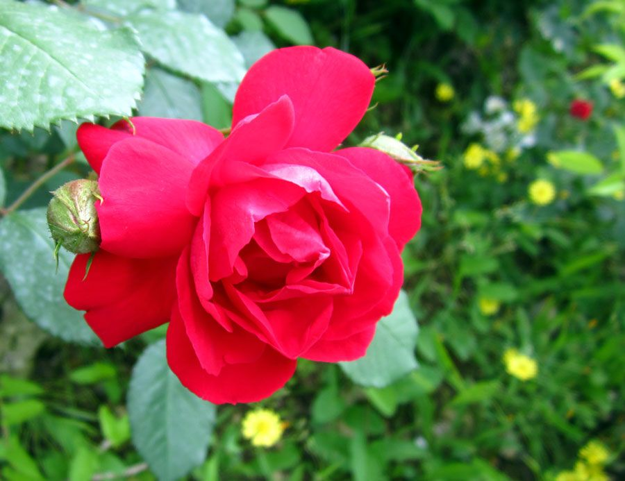 장미의 아름다움