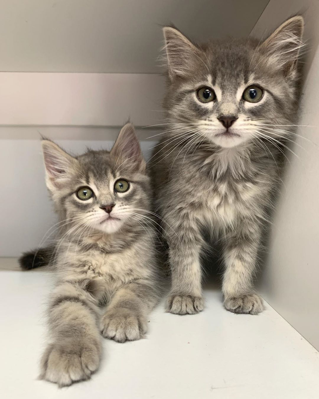 Cat Haven Wa On Instagram Kittens Available Today Meow Meow We Are Two 9 Week Old Cuties And We Are Here With Lot Cats Kittens Whiskers On Kittens