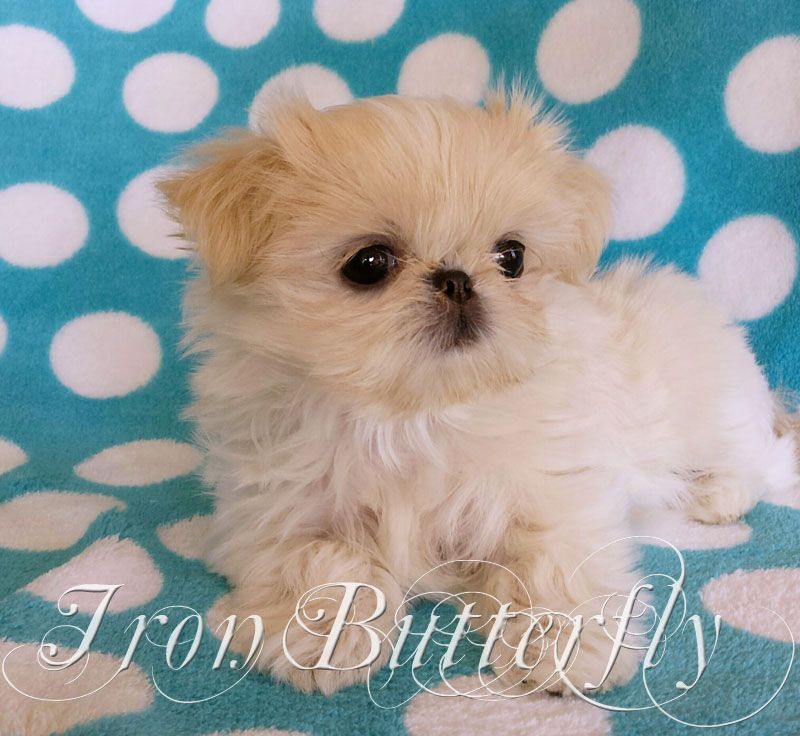 Iron Butterfly Chinese Imperial Shih Tzu Tiny Teacup Puppies For Sale Quality Small Breeder In 2020 Teacup Puppies Cute Teacup Puppies Puppies