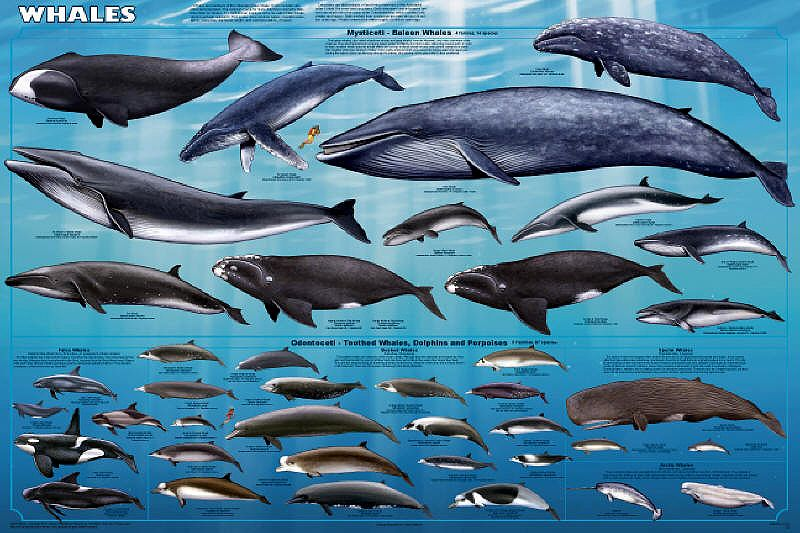 Whales & Dolphins Chart : Quality Publishing Australia | The Chart ...