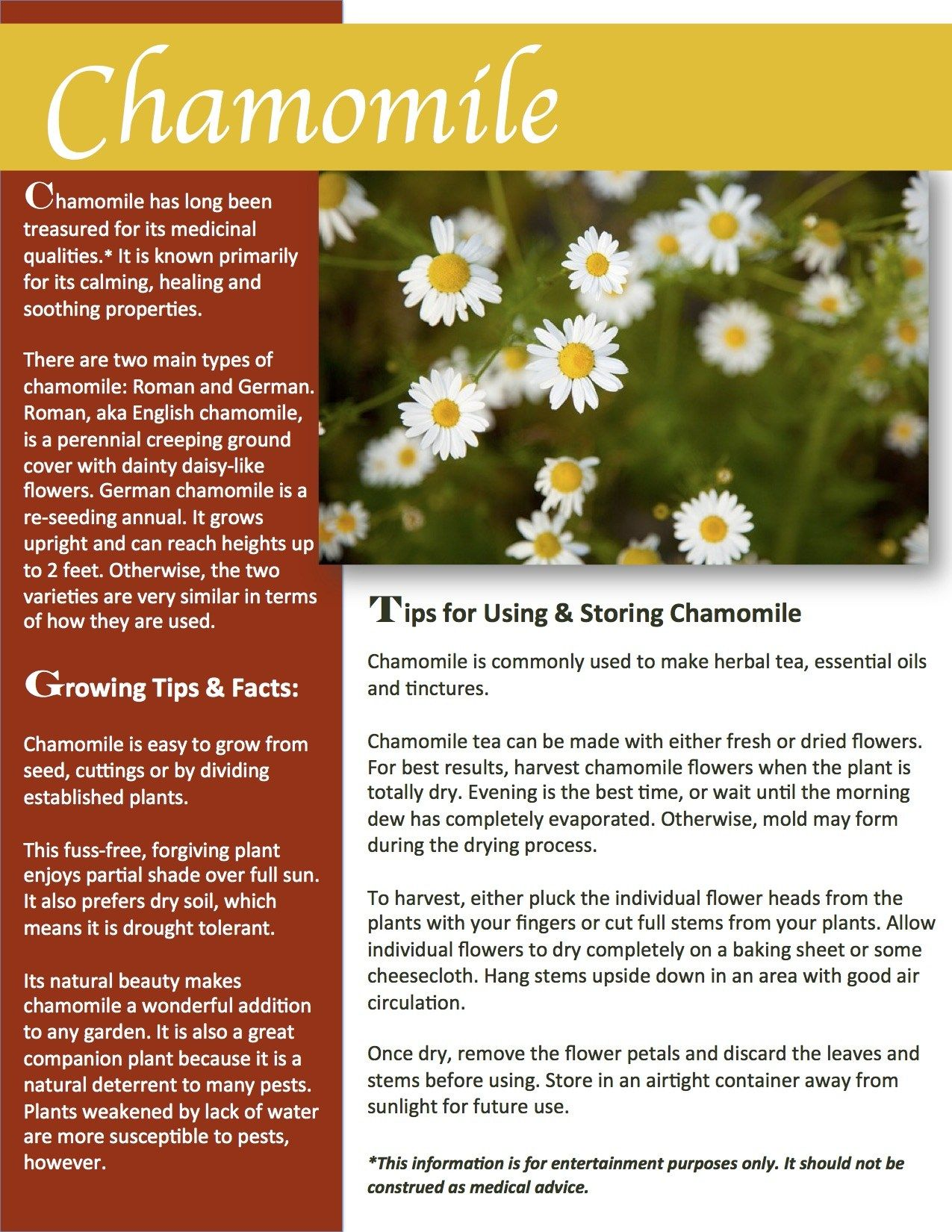 Herb Gardening 101 Growing Chamomile Chamomile Growing Chamomile Plant Chamomiles